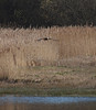 2018_04_0103 (petermit2) Tags: marshharrier harrier raptor pottericcarr potteric doncaster southyorkshire yorkshirewildlifetrust wildlifetrust ywt