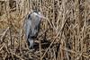 Great Blue Heron (Glenn R Parker) Tags: 1birds greatblueheron herons