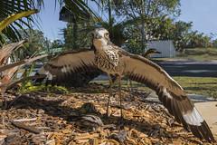 Go Away! (merbert2012) Tags: birds wildlife nature brisbane australia queensland nikond800 animal bird wood grass