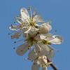 2018_04_0160 (petermit2) Tags: springblossom spring blossom pottericcarr potteric doncaster southyorkshire yorkshirewildlifetrust wildlifetrust ywt