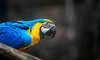 Colorful feathers (Rico the noob) Tags: dof bokeh d850 closeup birds 70200mmf28 parrot animal zoo 2018 bird published 70200mm animals eye teneriffa tenerife nature