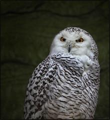 Snow Owl (guenterleitenbauer) Tags: 2017 animal animals günter leitenbauer schmiding schmieding tier tiere tierpark zoo animales wildpark