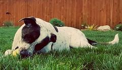Rylee enjoying the cool grass. (d2roberts) Tags: 1852 52weeksfordogs rylee
