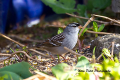 IMG_5910 (nitinpatel2) Tags: bird nature nitinpatel