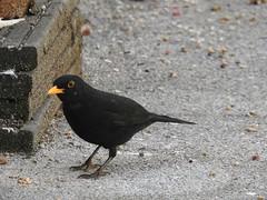 Blackbird (Simply Sharon !) Tags: blackbird bird britishwildlife wildlife nature inthegarden gardenbird gardenvisitor