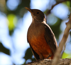 Sabiá-laranjeira (Degu SASF) Tags: brasília brasil brazil df distrito federal aves ave birdwatching observação