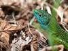 Lagarto verde (José Ricardo Gracia) Tags: lagarto lizard verde lacerta viridis retrato portrait reptil reptile