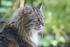 sputnik in the garden 1 (photos4dreams) Tags: photos4dreams p4d photos4dreamz photos photo pics home sputnik sibirian sibirische waldkatze cat male tomcat longhaired fluffy siberian sibi katze kater