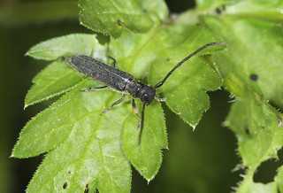 Umbellifer Longhorn Beetle - Phytoecia cylindrica