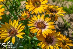 Spring Flowers African Cape Daisy (SLHPhotography1990) Tags: spring flowers blossom colour riot beauty beautiful nature life plants garden bloom patterns shapes petals african cape daisy osterpermum yellow