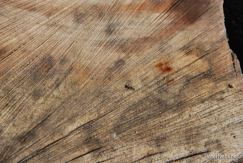 Зріз дерева InterNetri 2