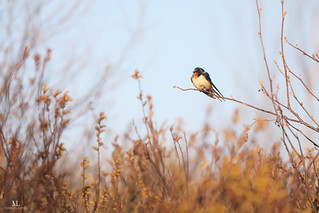 Barn Swallow - Hirondelle rustique -Hirundo rustica