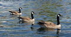 Sunday Funday (Cindy's Here) Tags: sundaysunday canadiangeese geese three assiniboinepark duckpond winnipeg manitoba canada canon studio26birds