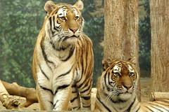 Milwaukee County Zoo (Tiger_Jack) Tags: zoo zoos zoosofnorthamerica itazoooutthere milwaukeecountyzoo bigcat bigcats flickrbigcats tiger tigers