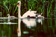 There's always one lazy kid (Paul Wrights Reserved) Tags: swan swans bird birding birdphotography birdwatching birds cute reflection reflections nature naturephotography wildlife wildanimal wildlifephotography animal animals animalantics cygnets