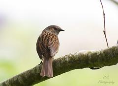 Dunnock (DarklyDreamingCara) Tags: bird dunnock beak feathers branch birding tree brown avian