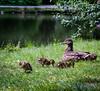 Ducklings (Don White (Burnaby)) Tags: centralpark mallard nikon50mm18d ducklings