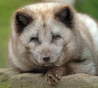arctic fox Duisburg BB2A6937