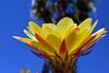 Dancin' the Night Away (oybay©) Tags: yellowcactusflower suncitywest arizona unique unusual nightbloom night cactusflower cactus flower flora fiori blumen argentinegiant macro upclose color colors white whiteflower light greatshot coolshot cool indoor black background