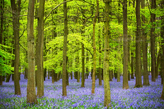 Bluebells in Dockey Wood (RCARCARCA) Tags: dockeywood blur mauve photoartistry woods canon bluebells light trees blue leaves forest path sunlight 5diii green 70200l footpath dappled