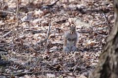 Squirrels at Maybury State Park (Northville, Michigan) - April 2018 (cseeman) Tags: parks stateparks michiganstateparks departmentofnaturalresources michigandepartmentofnaturalresources northville michigan maybury mayburystatepark trees trails paths nature publicparks wildlife mayburyapril2018 animals squirrels squirrelsmaybury mayburyapril2018squirrels foxsquirrels easterngreysquirrels blacksquirrels redsquirrels chipmunks