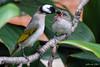 白頭鵯 Pycnonotus sinensis (Harold.Lin) Tags: supermulticoatedtakumar200mmf4 白頭鵯 pycnonotussinensis bird 鳥 taiwan 台灣 白頭翁