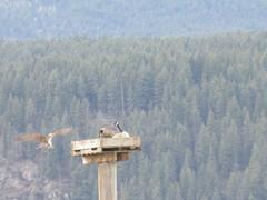 Get off! (jamica1) Tags: birds geese nesting platform nature bay salmon arm shuswap bc british columbia canada osprey