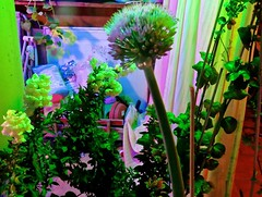 Red Onion Allium Flower Ball At Night <<>> IMG_0117 - Version 2 (Chic Bee) Tags: redonion allium whiteflowerballs edibleonions tucson arizona flowerpot poollights