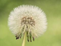 2018-05-06 11-36-50 (C) (turbok) Tags: blütengelb löwenzahn pflanze verblüht wildblumen wildpflanzen c kurt krimberger