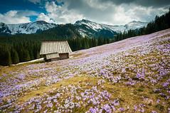 Kalatówki (siliel) Tags: tatry tatras tatramountains wiosna krokusy crocus góry nikon nikond90 mountains poland mountainscape mountain polska spring landscape kalatówki