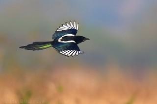 Magpie in flight 104730
