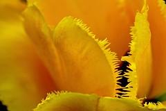 Jagged             Macro Mondays (kiareimages1) Tags: jagged macromondays tulipano tulips tulipes tulipani frastagliato macro macroflowers macrophoto macrophotographie spring yellow giallo jaune amarillo kiareimaginations
