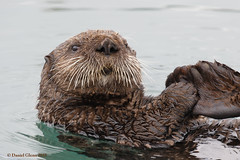 Sea Otter (danielusescanon) Tags: seaotter wild enhydralutris marine mammal water floating cordova alaska harbor aquatic animal wet