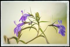 In the garden.... (JiJaRo) Tags: nature flowers flower canon czech garden macro bokeh