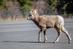 Little Bighorn (Jessie T*) Tags: bighornsheep yearling rockymountainsheep alberta jaspernationalpark canada road