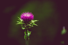 thistle [Day 3420]