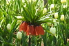 Orange Crown Imperial (RonG58) Tags: orangecrownimperial coastalmainebotanicalgardens boothbay domesticflowers flowerbed flowers hana flower floweringplant botanical plants plant macro maine rong58 usa images spring pictures photooftheday day image color photography photo photos us light trip nikon picture digitalcamera picoftheday nikoncoolpixp900 coolpix photograph new live geotagged nature travel exploration boothbayharbor