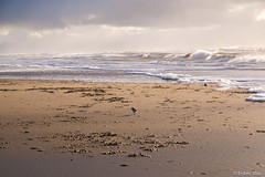 A day on the beach (✦ Erdinc Ulas Photography ✦) Tags: beach strand birds seagull water sea zee golven sand netherlands egmond aan nederland dutch holland weather sky clouds grey wolken focus landscape animal bird vogel waves wave panasonic cold rough sun wet searching
