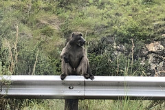 Roadside Baboon (RobW_) Tags: roadside baboon golden gate free state province south africa wednesday 28feb2018 february 2018