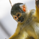 Squirrel monkey showing hand thumbnail