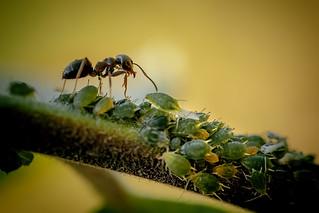 sorte havemyre - Lasius niger