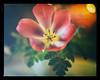 Mikaton Vintage Tulip (Krogen) Tags: norge norway norwegen akershus romerike ullensaker jessheim blomster flowers krogen panasoniclumixgx7 mitakonspeedmaster f095 analogefexpro2
