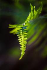 In the forest (Polypodiopsida Cronquist) (bożenabożena) Tags: nature forest fern green wild plant natura wildplant las paproć zielony dzikaroślina 2018 light