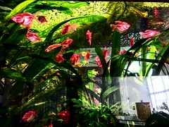 Rosa (lenaprigorianc) Tags: fish tank animals ocean pets pink green colors