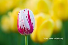 IMG_6682 (nitinpatel2) Tags: flower nature nitinpatel
