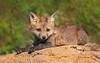 Spring Baby (Ania Tuzel Photography) Tags: pennsylvania babyfox sweet wild eyecontact vulpesvulpes carnivore rudylisek