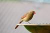 Northern Cardinal (U.S. Fish and Wildlife Service - Midwest Region) Tags: cardinal northerncardinal female birdbath bath bird birds birding nature wildlife animal animals minnesota mn spring may 2018