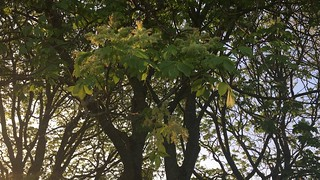 Manna Ash (Fraxinus ornus) - trunk, leaves & branches - May 2018
