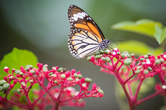 White Tiger (terrencechuapengqui) Tags: butterflies singapore satay by bay nature
