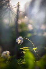 Valkovuokko (Markus Heinonen Photography) Tags: valkovuokko anemone nemorosa vitsippa windflower kukka flower kasvi plant metsä forest skog luonto nature suomi finland espoo valo light bokeh macro